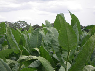 Tobacco-Leaves