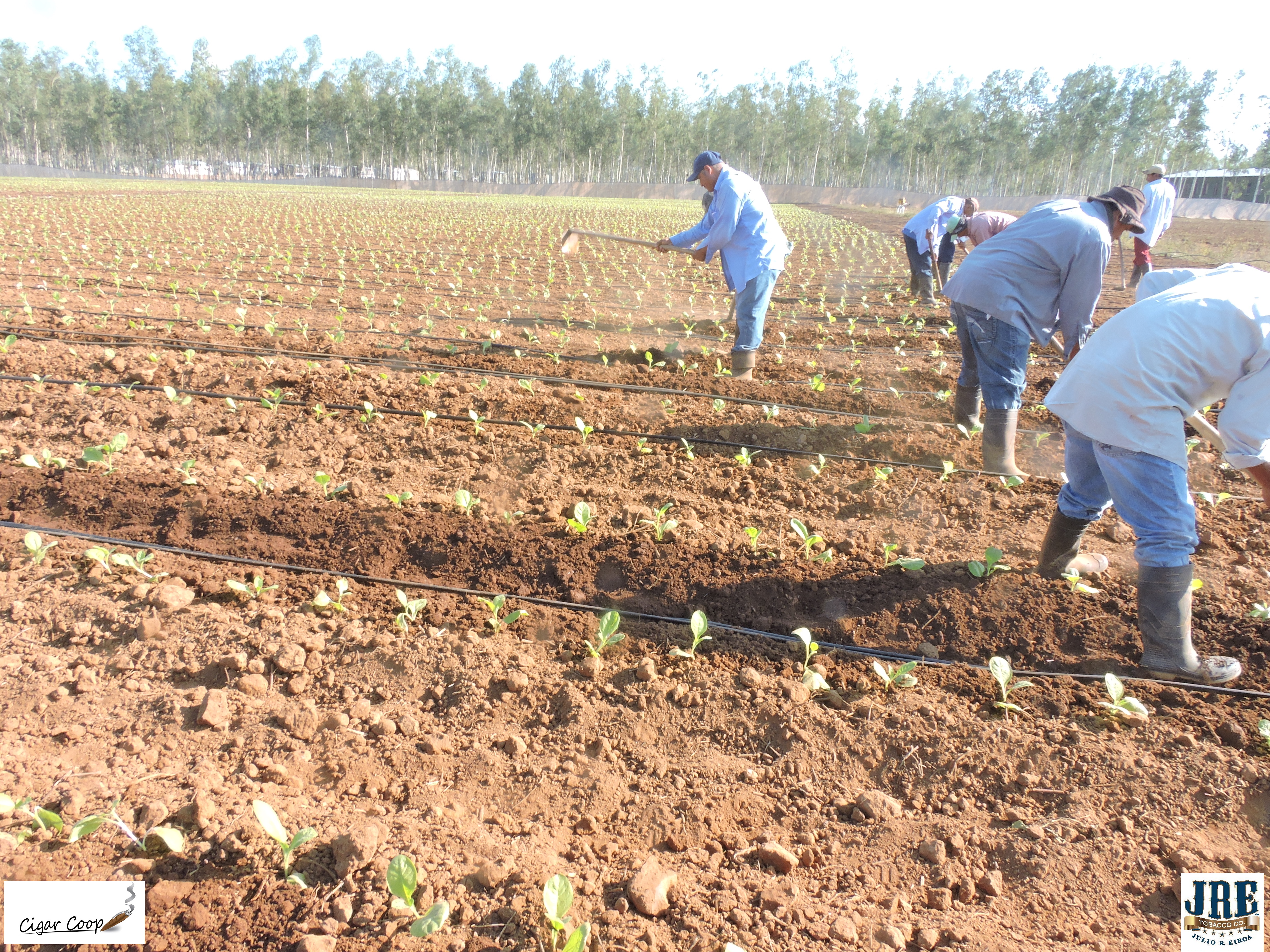 Corojo_Farm_Drip_Irrigation_